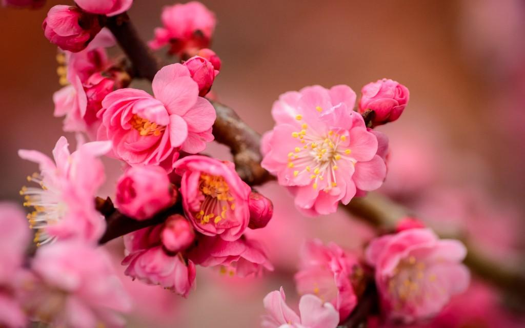 Plum Blossoms at Bairin Park in Gifu