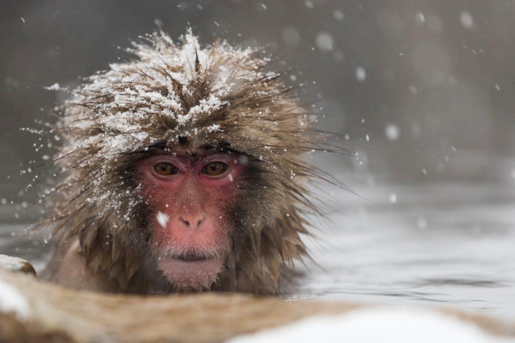Yudanaka Onsen snow monkeys lead