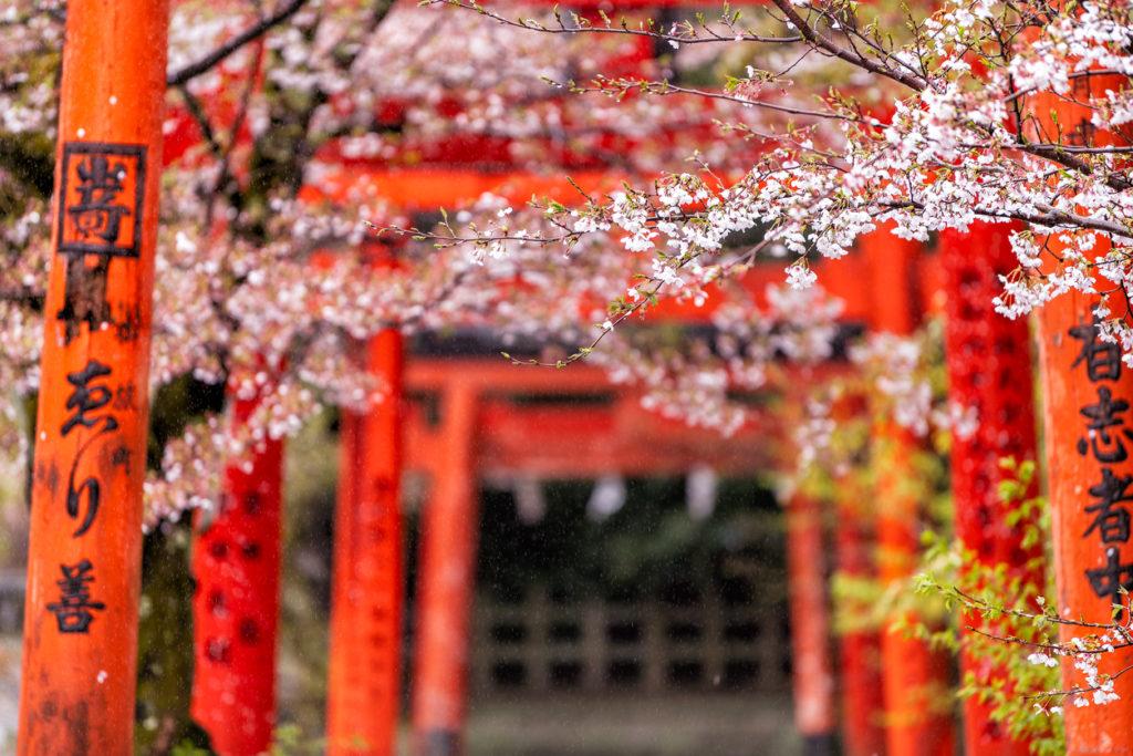 Kyoto, Japan - April 10, 2019: Orange red Takenaka Inari Jinja Shrine gates and cherry blossom sakura trees in spring with blooming flowers in garden park