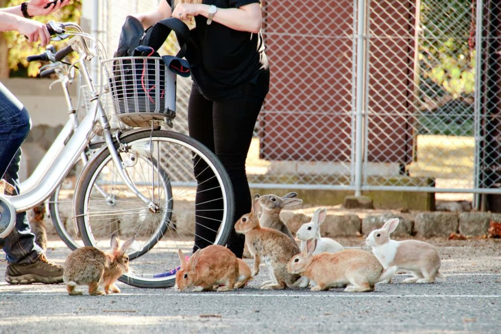 The rabbits of Okunoshima, Hiroshima.