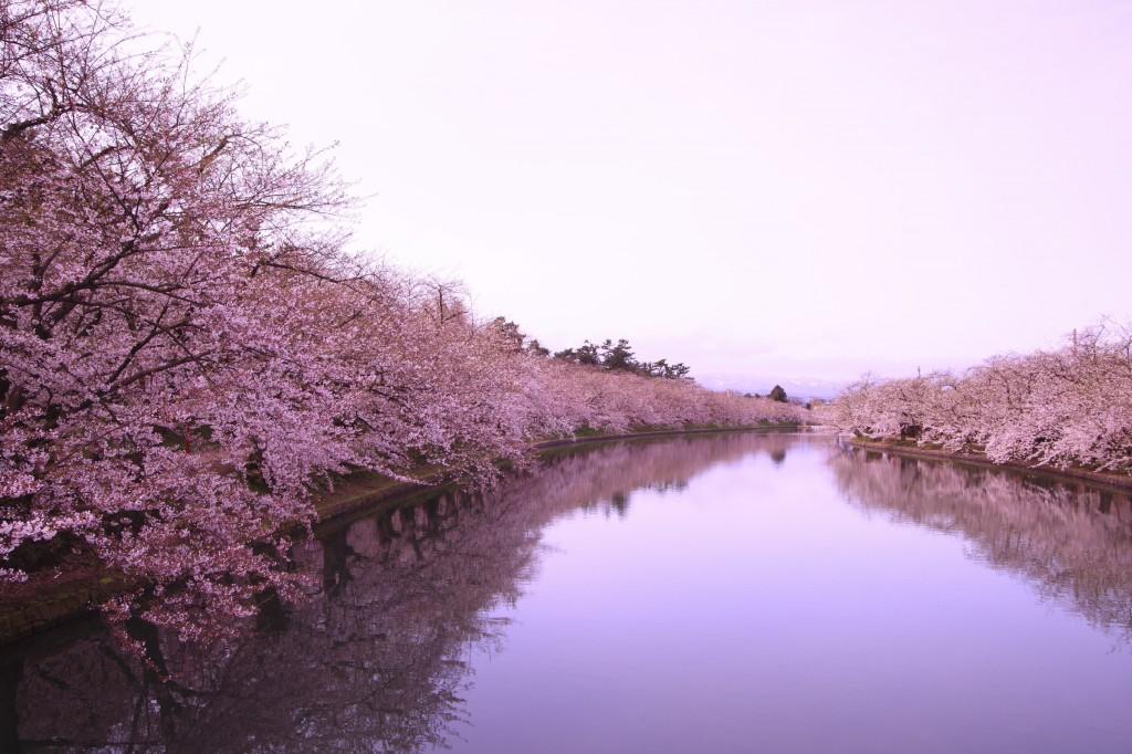 Cherry blossoms along the moat surrounding Hirosaki castle, Aomori.