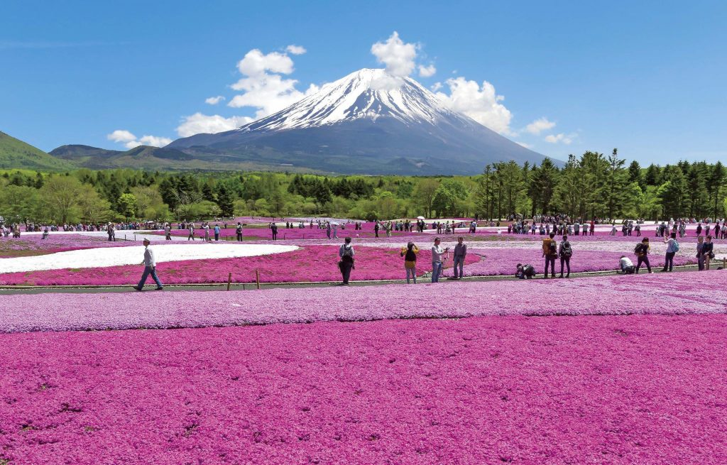 See the spectacular shibazakura at the base of Mount Fuji.