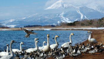 Lake Inawashiro mount Bandai swans Fukushima