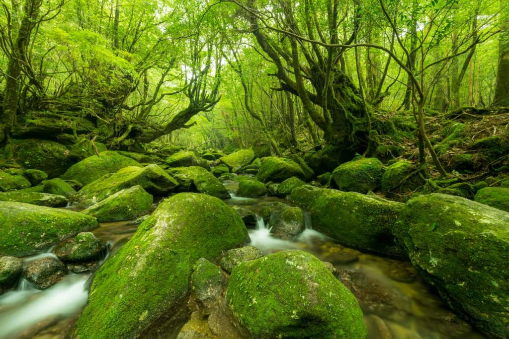 Yakushima Forest in Kagoshima, Japan.