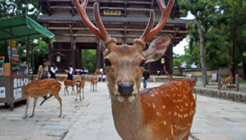 Deer at Nara Park in Japan