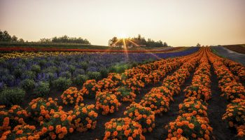 Field of flowers stretching for miles. Taken in Biei, Japan.