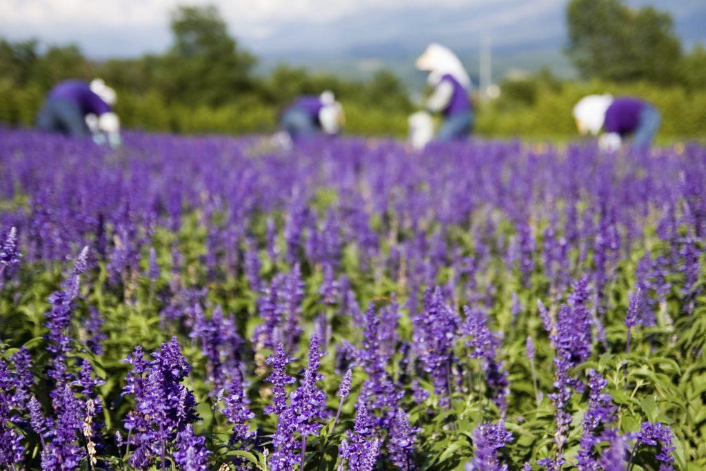 Lavender Furano in Hokkaido