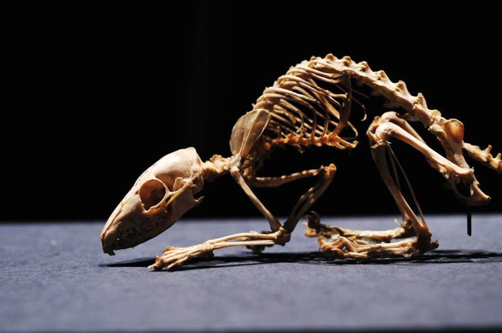 Skeleton at the National Museum of Nature and Science