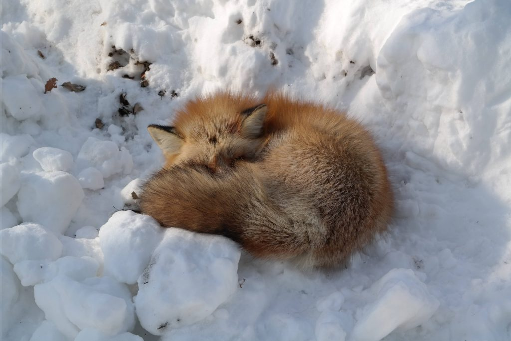 A sleeping fox at Zao Fox Village, Japan.