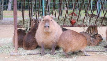 Capybara at Uminonakamichi Seaside Park in Fukuoka.