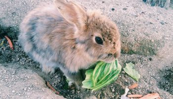 "Rabbit on Okunoshima ""rabbit island"" Japan"
