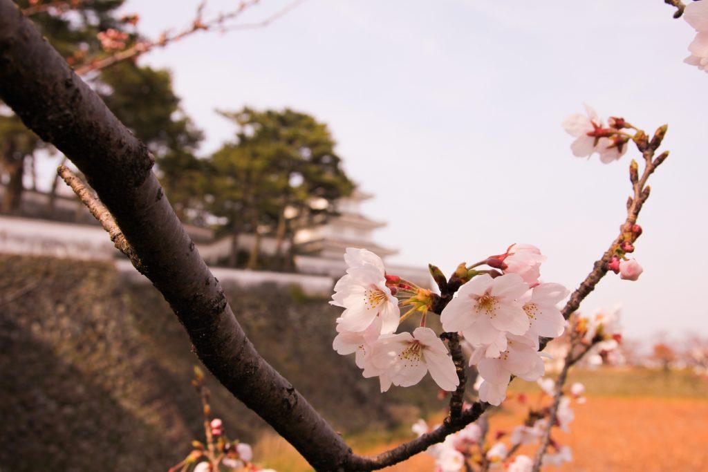 Shimabara castle ssakura
