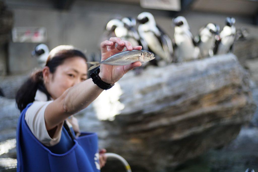 Woman feeding the penguins at Sunshine Aquarium Ikebukuro