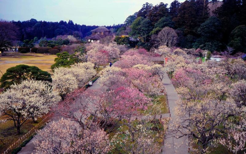 Kairakuen Garden in Ibaraki Japan is known for its March plum blossom festival