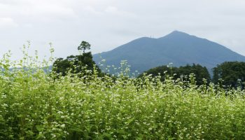 Buckwheat field and Mount Tsukuba in the distance with its twin peaks.