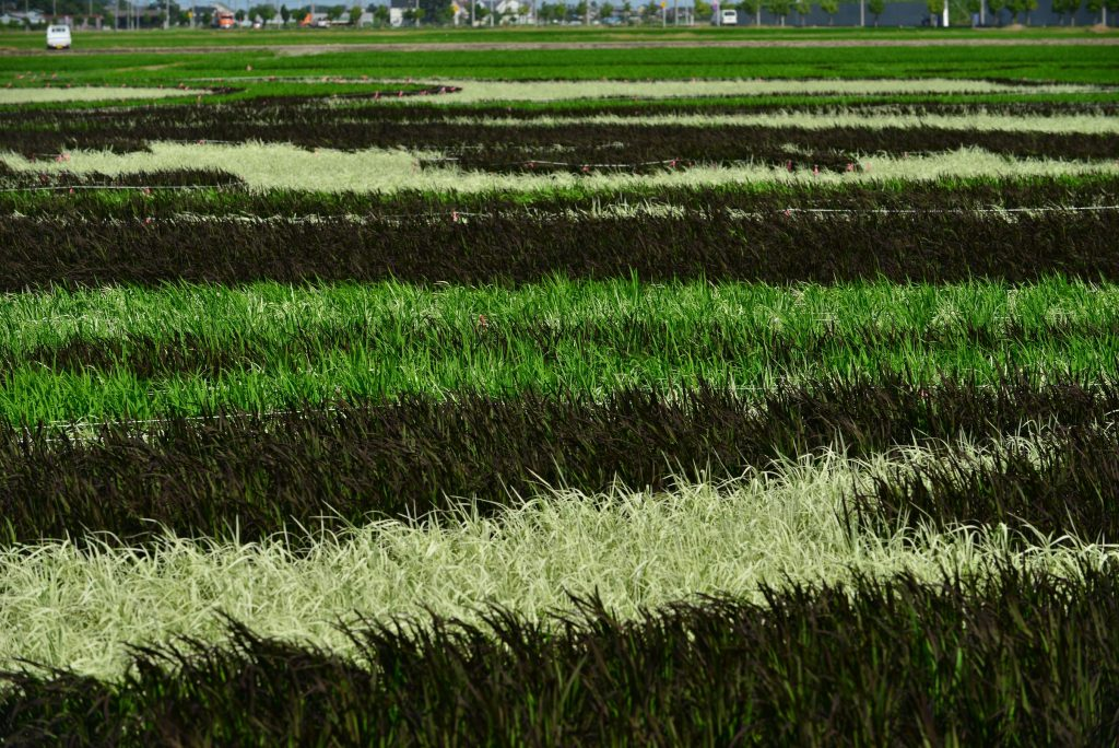 This photo shows a closer look at rice plants forming the rice paddy art in Gyoda City, Saitama Prefecture. We can recognize individual rice plants in this photo, whereas the art looks as if it was painted on the lawn when we look at it from far away. The photo was taken just one month after the rice plantation took place.
