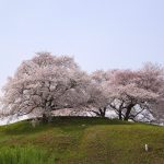 """Cherry tree on the hill, Sakitama Kofun, Saitama, Japan"""