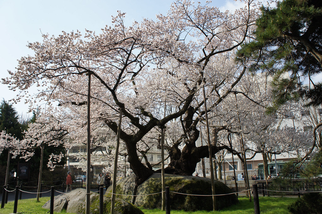 """Ishiwari-zakura"", Rock-splitting cherry in Morioka Iwate"