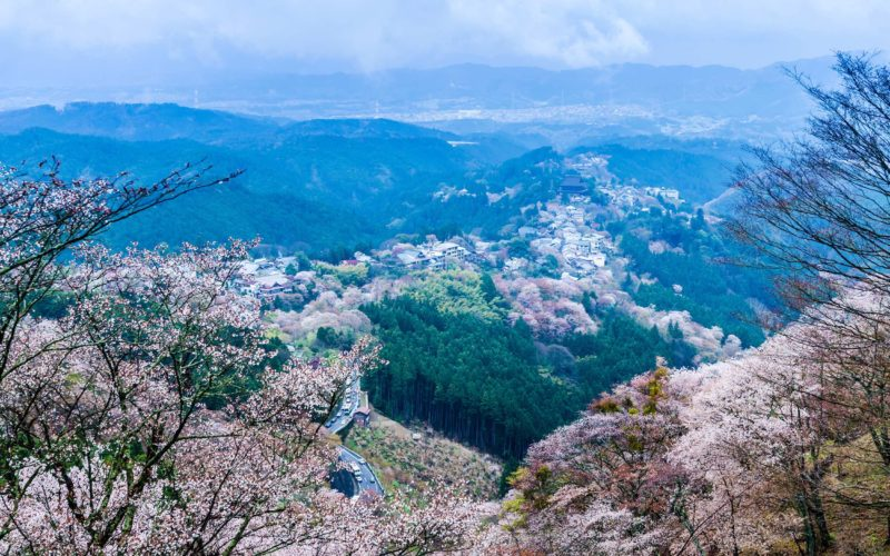 Cherry blossom on mount yoshino in the morning at nara japan ,toned and color filter nara