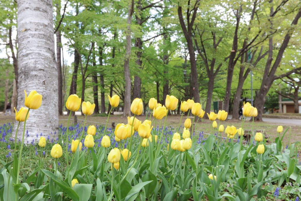 Tulips in Maruyama Park