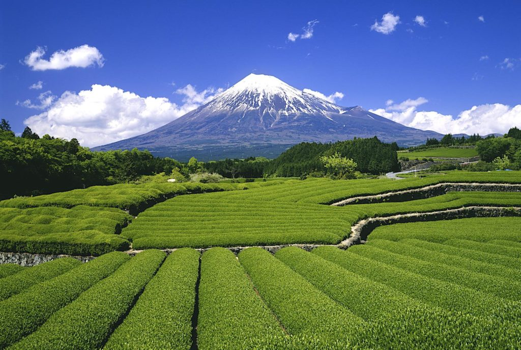 Mt. Fuji and tea plantations