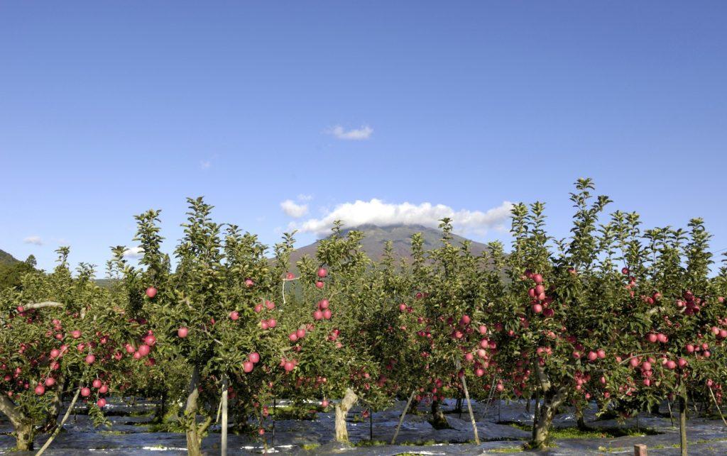 Apple Orchard Aomori