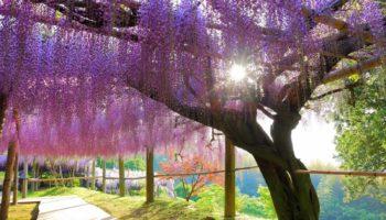 The beautiful wisteria in spring in Kitakyushu, Fukuoka.