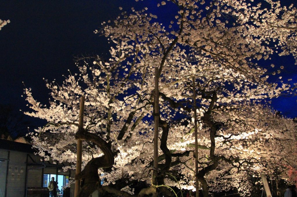 Beautiful sakura light up at Nijo Castle.