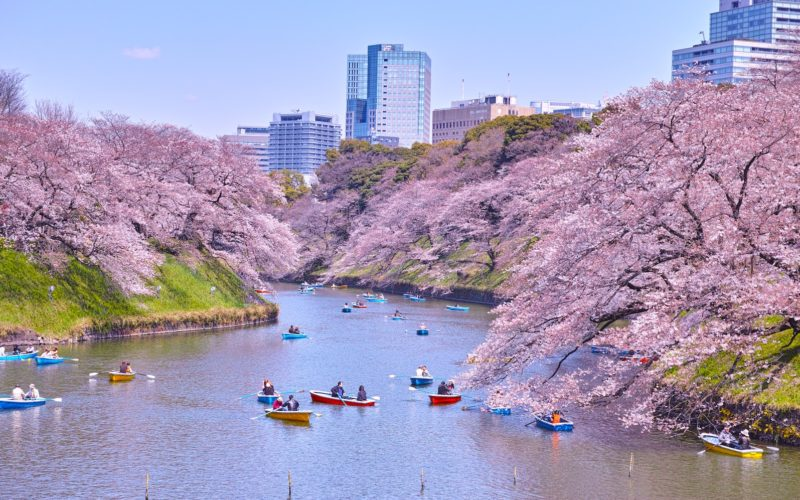 Tokyo, Japan - April 4, 2017: Chidorigafuchi Park in the spring of Tokyo is famous for cherry blossoms. By the time cherry blossoms are in full bloom it will be crowded with many tourists. Several boats float on the moat and see the cherry blossoms.