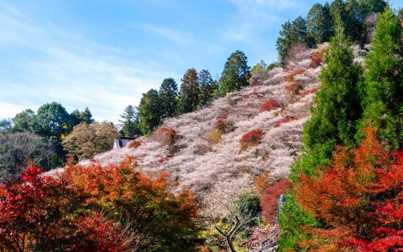 Toyota Aichi autumn cherry blossoms