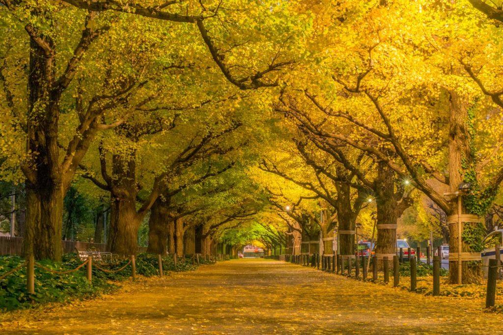 Meiji Jingu Gaien autumn leaves tunnel in Tokyo Japan