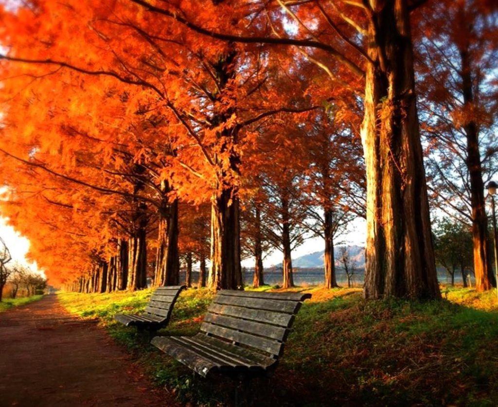 Metasequoia Namiki Avenue Autumn leaves in Shiga Japan