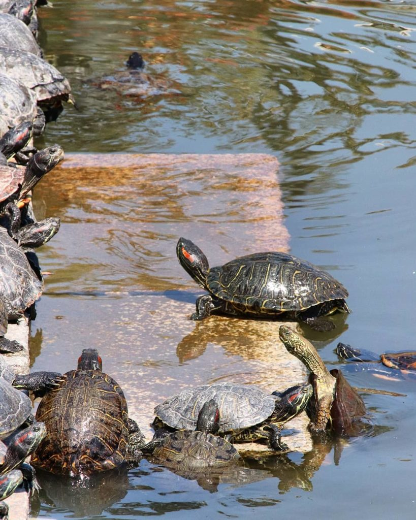 Shitennoji Temple Turtles in Osaka, Japan