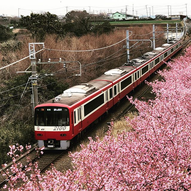Miura Kaigan Cherry Blossom Festival in Kanagawa Japan
