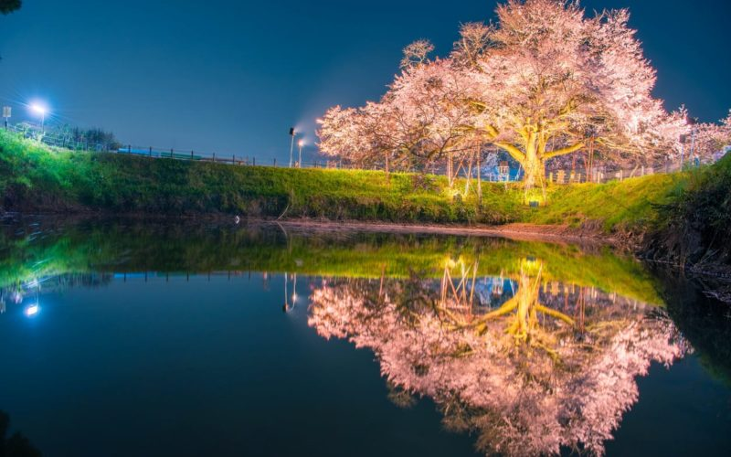 Fukuoka City sakura lit at night.