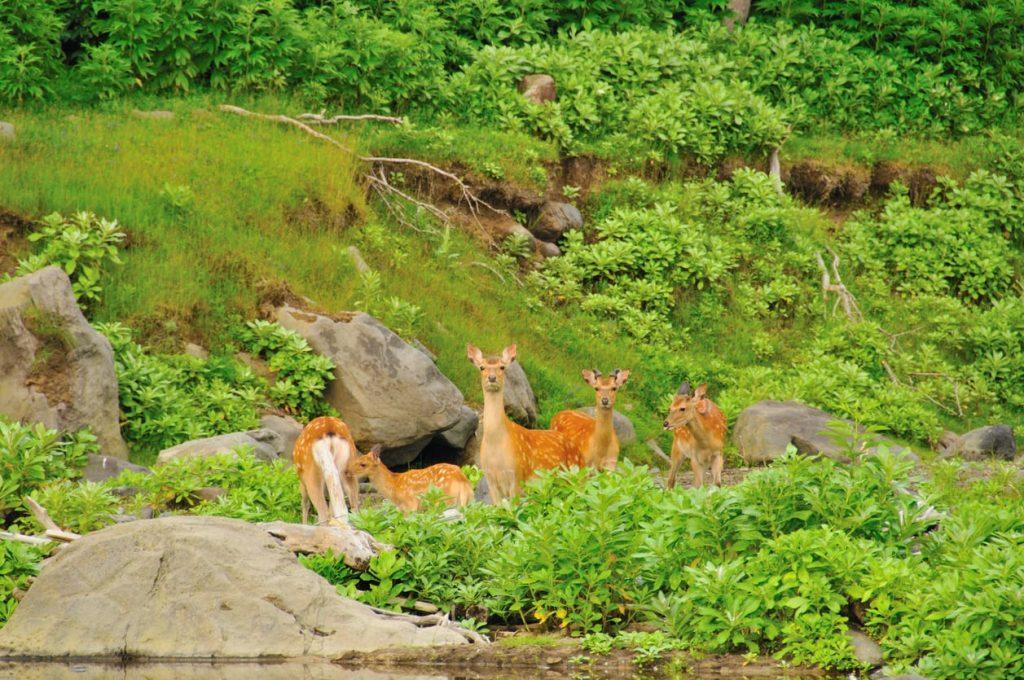 Shiretoko National Park Deer Hokkaido